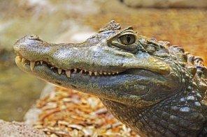 alligator-1579916__340